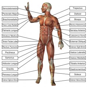 Cibtac diploma in anatomy physiology protherapist academy cibtac diploma in anatomy physiology publicscrutiny Images